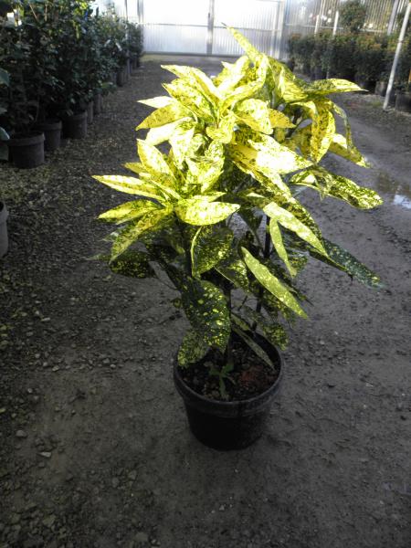 aucuba_japonica_golden_king_k9_bokros_4.jpg
