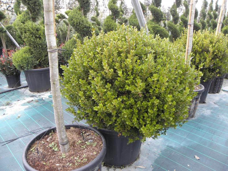buxus_rotundifolia_k80_d60_gomb_1.jpg