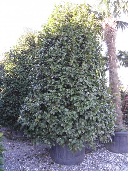 camellia_japonica_k150_250_275cm_1.jpg