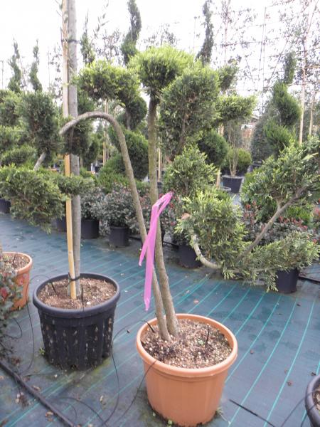 cupressocyparis_leylandii_castlewellan_gold_k50_bonsai2_1.jpg