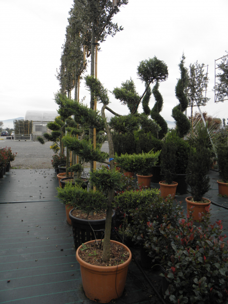 cupressocyparis_leylandii_castlewellan_gold_k50_bonsai_2.jpg