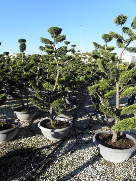 cupressocyparis_leylandii_castlewelland_gold_tal70_180_200cm_bonsai_1.jpg