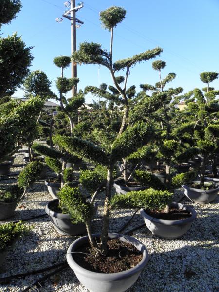cupressocyparis_leylandii_castlewelland_gold_tal70_180_200cm_bonsai_3.jpg