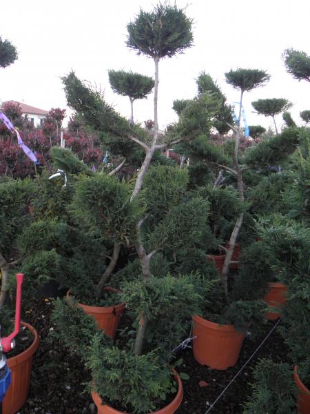 cupressocyparis_leylandii_k45_200_220_bonsai_1.jpg