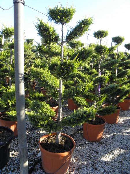 cupressocyparis_leylandii_k45_200_220cm_bonsai_1.jpg