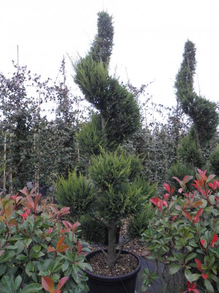 cupressocyparis_leylandii_verde_k80_ponpon+spiral_1.jpg