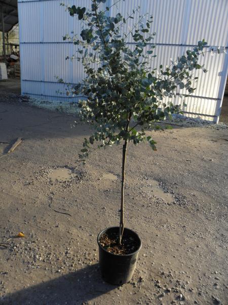 eucalyptus_gunnii_k9_negyedtorzses_1.jpg