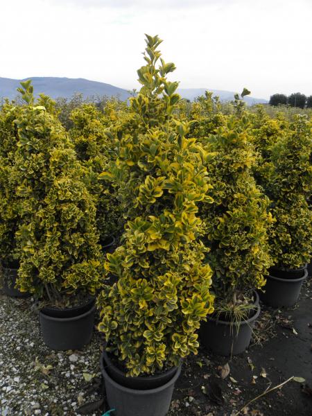 euonymus_japonicus_aurea_k25_100_125_kup_1.jpg