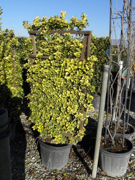 euonymus_japonicus_aurea_k35_120x170_spalier_1.jpg