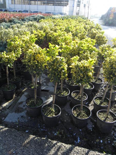euonymus_japonicus_aurea_k5_negyedtorzses_1.jpg