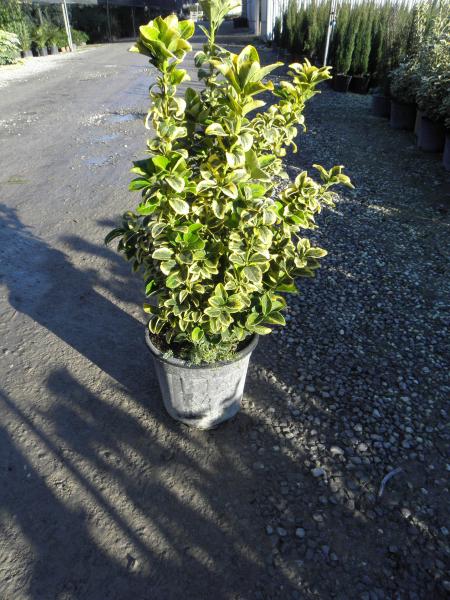 euonymus_japonicus_aurea_k9_bokros_1.jpg