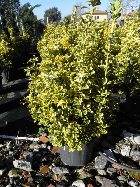 euonymus_japonicus_aureus_k25_80_100cm_bokros_1.jpg
