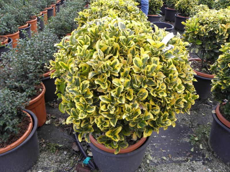 euonymus_japonicus_elegantissimus_aurea_k18_40_50_gomb.jpg