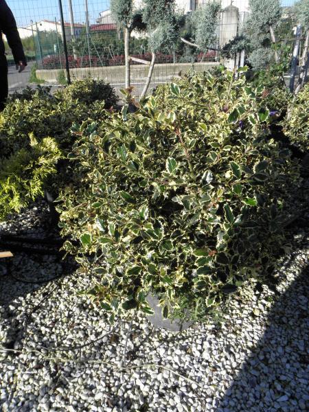 ilex_aquifolium_argenteomarginata_k12_d50_60_gomb_1.jpg