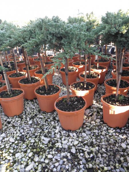 juniperus_conferta_blue_pacific_k5_negyedtorzses_1.jpg