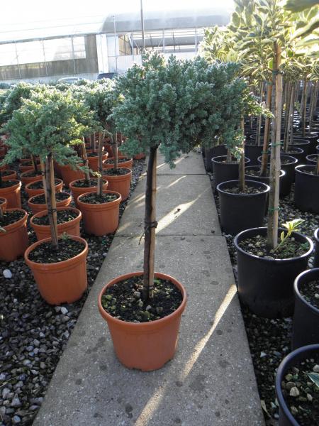 juniperus_conferta_blue_pacific_k5_negyedtorzses_3.jpg