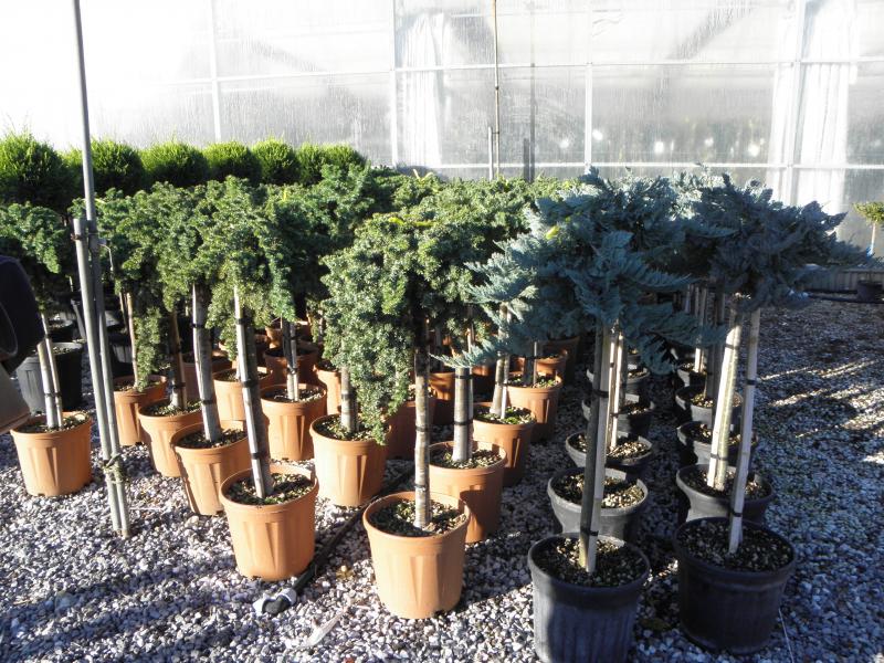 juniperus_horizontalis_blue_chip_k15_feltorzses_1.jpg
