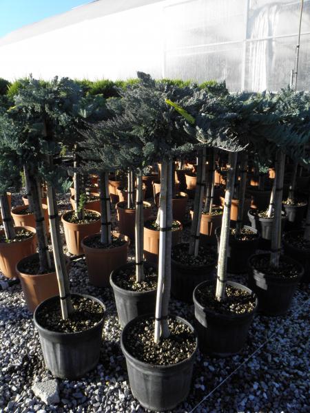 juniperus_horizontalis_blue_chip_k15_feltorzses_2.jpg