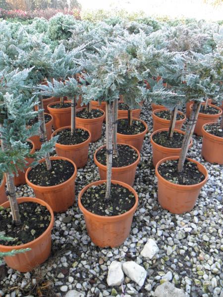 juniperus_horizontalis_blue_chip_k5_negyedtorzses_1.jpg