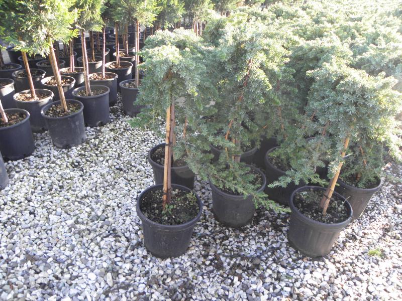 juniperus_procumbens_nana_k5_negyedtorzses_1.jpg