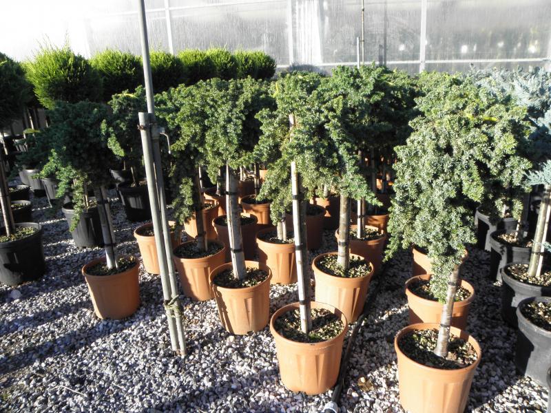 juniperus_sp_k15_feltorzses_1.jpg