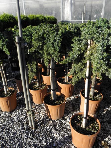 juniperus_sp_k15_feltorzses_3.jpg
