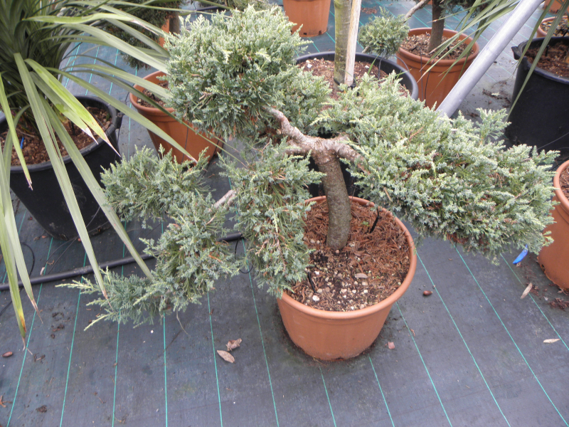 juniperus_sp_k30_80_100_bonsai_1.jpg