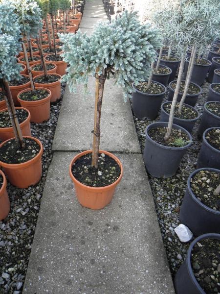 juniperus_squamata_blue_star_k5_negyedtorzses_1.jpg