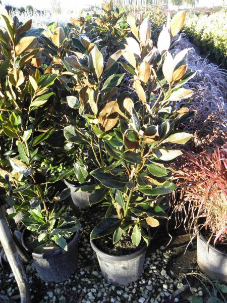 magnolia_grandiflora_little_gem_k7_1.jpg