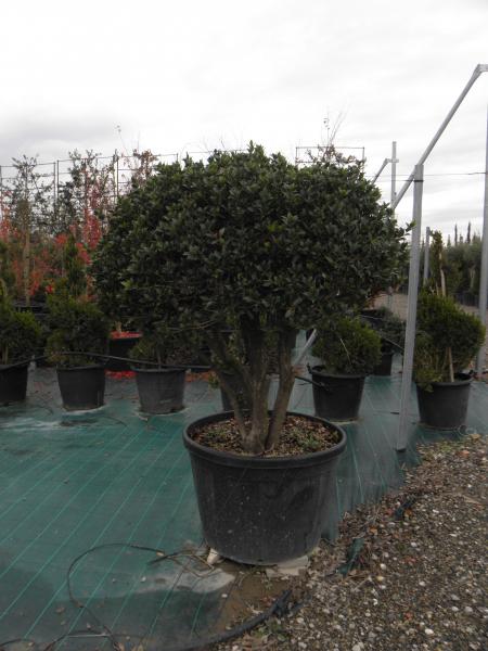osmanthus_heterophylla_k180_gomba_bonsai_1.jpg