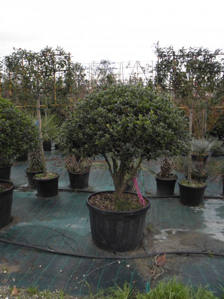 osmanthus_heterophylla_k180_gomba_bonsai_3.jpg