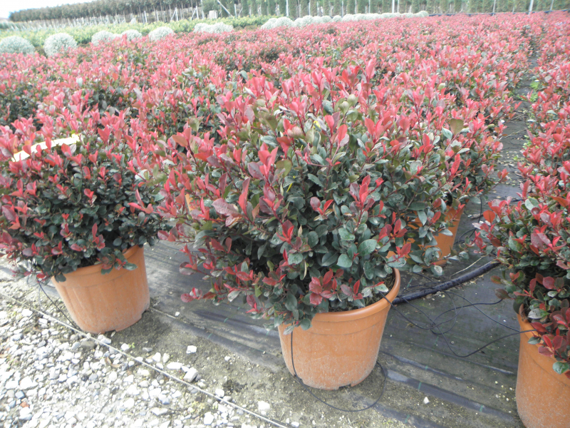 photinia_fraseri_little_red_robin_k18_50_60_gomb_1.jpg