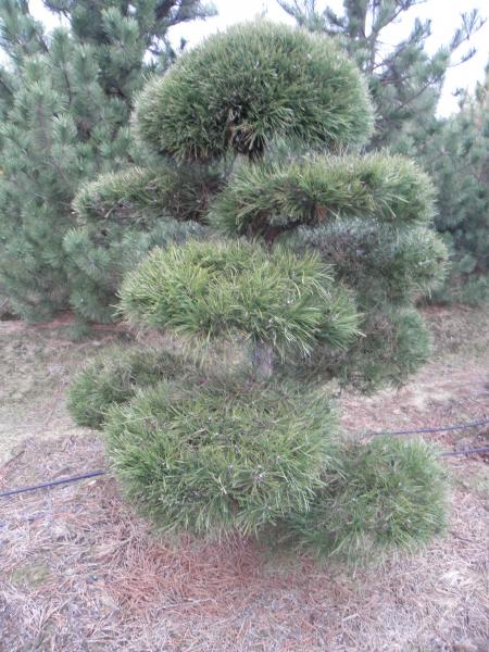 pinus_nigra_austriaca_bonsai_k230_150_175_3.jpg