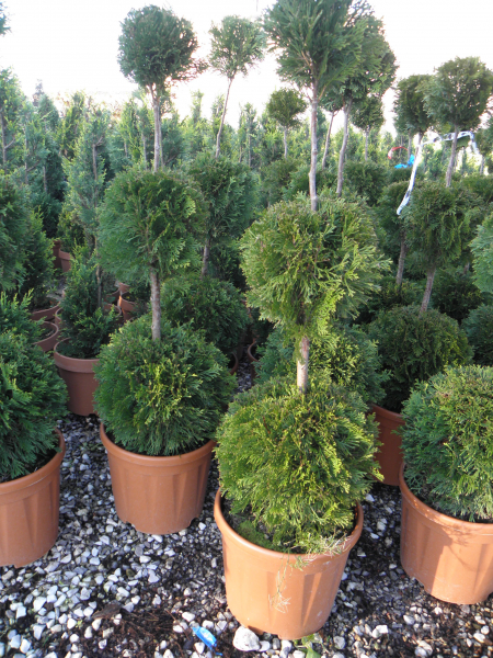 thuja_occidentalis_smaragd_k12_3gomb_2.jpg