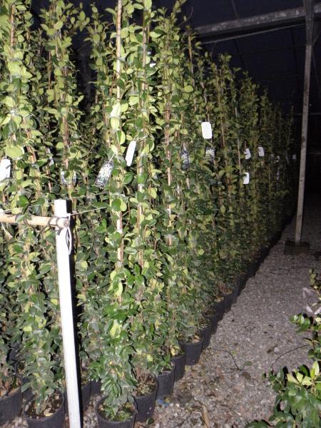 trachelospermum_jasminoides_k3_180_200cm.jpg