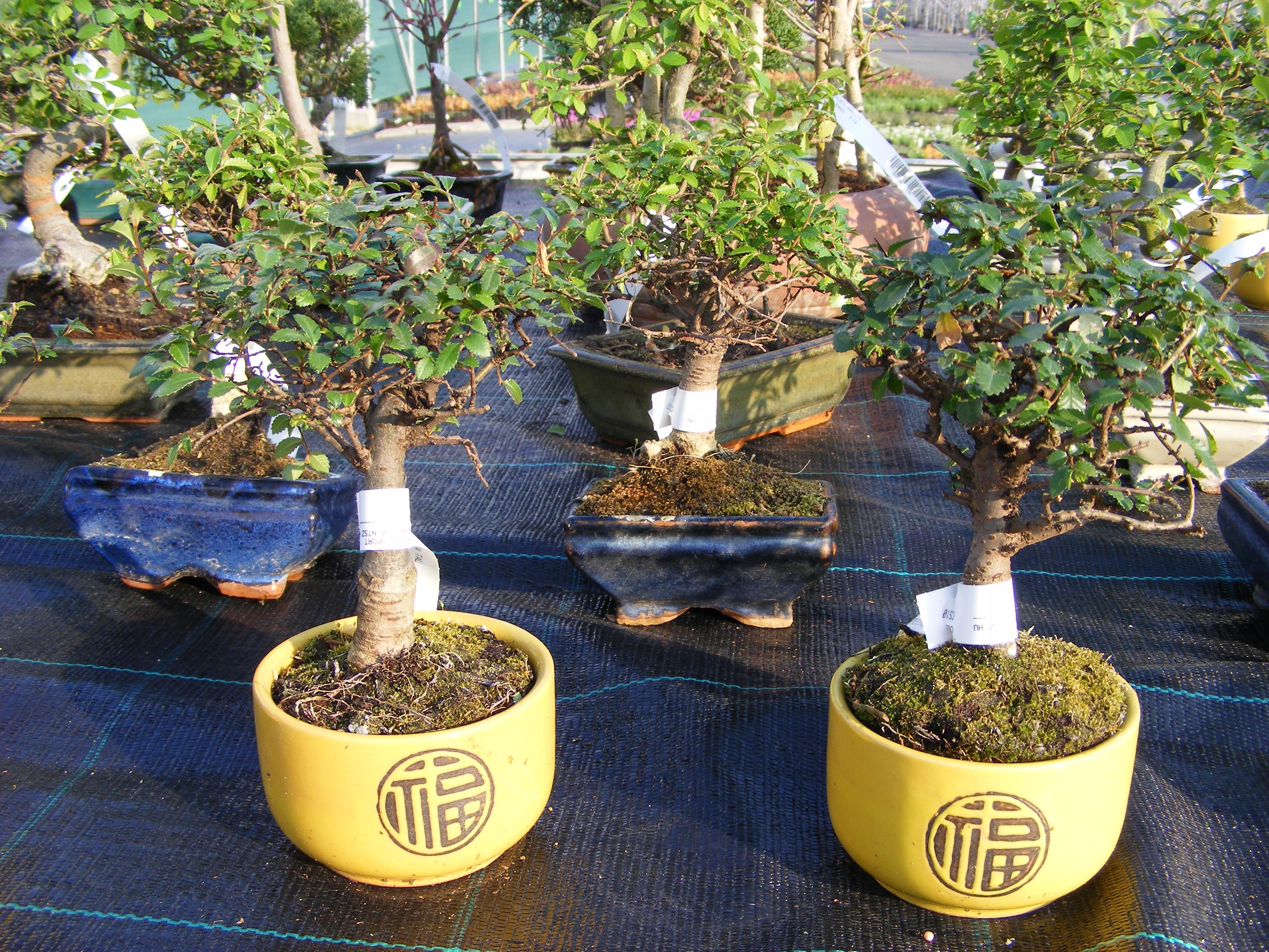 Bambuszok, bonsai-ok