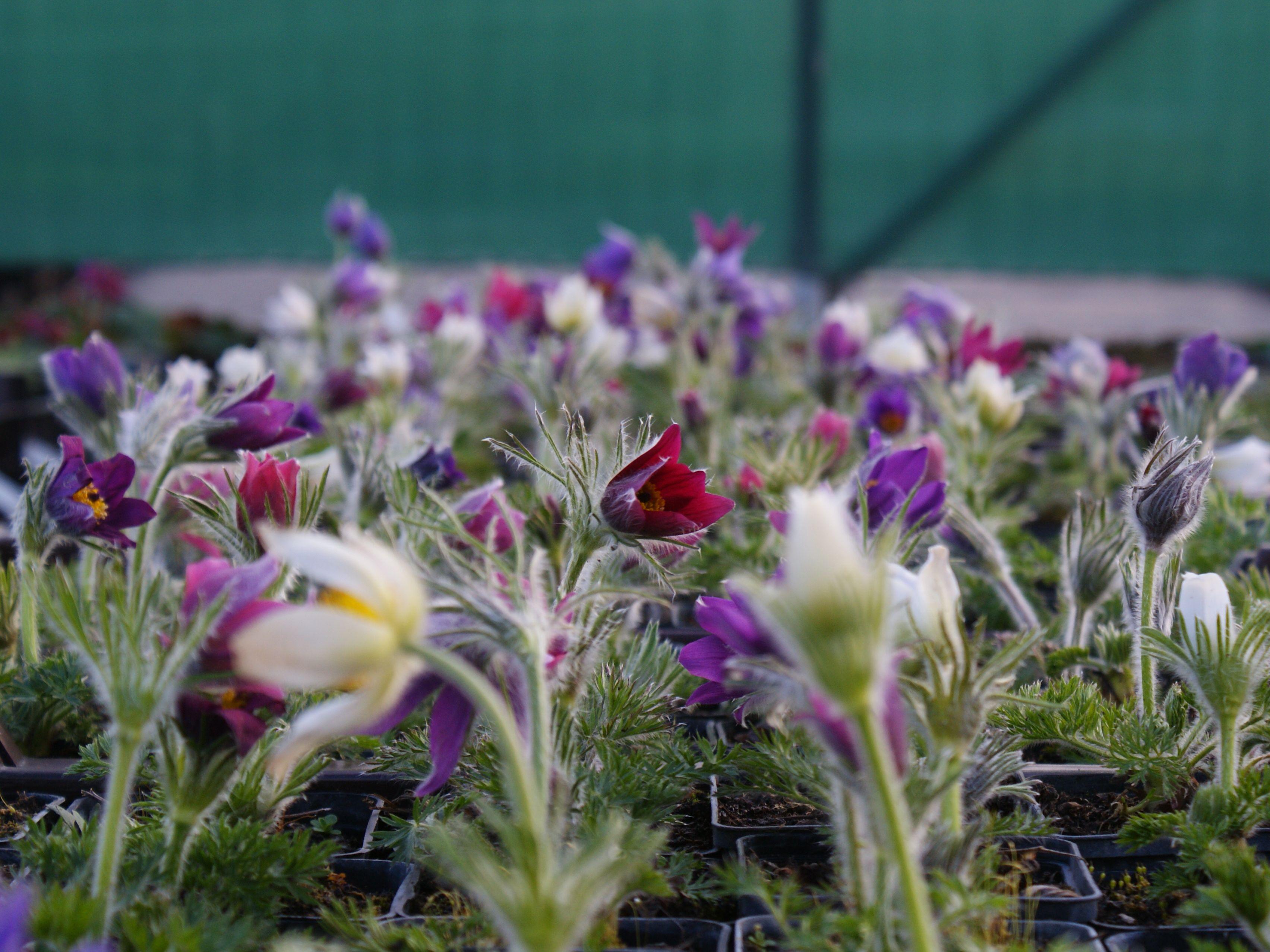 Évelők, virághagymák