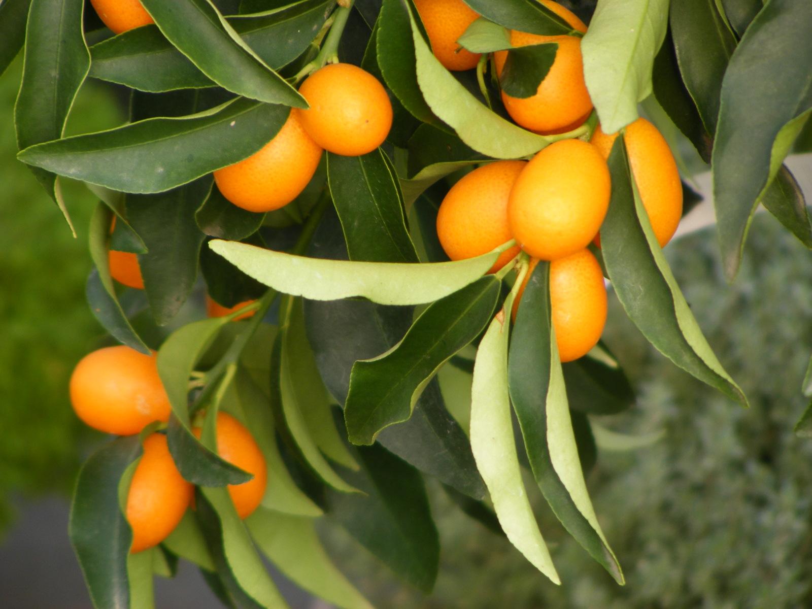 Mediterrán növények, pálmák