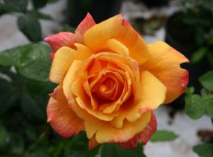 ROSA SUTTERS GOLD